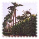 校園風貌-椰子樹
